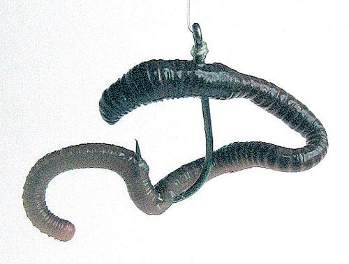 Как насадить червя на крючок для фидера