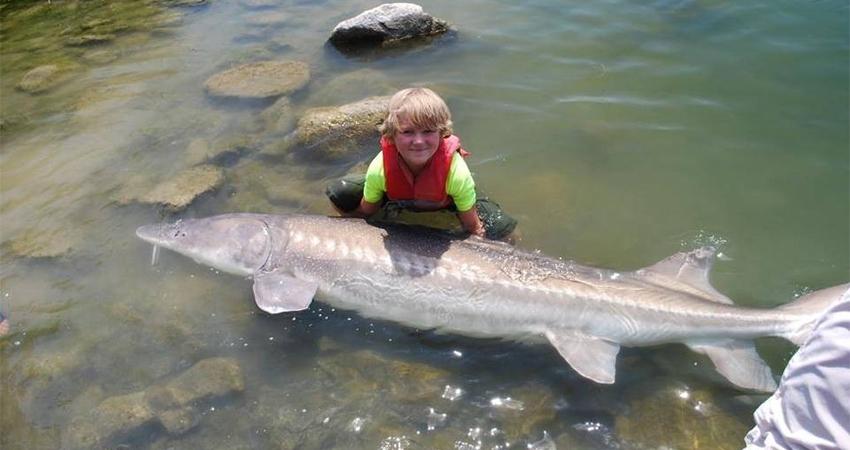 фото рыба осетра